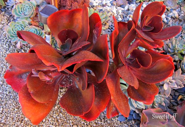 Echeveria Mahogany Rose
