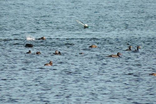 #103 White-winged Scoter ( Melanitta deglandi)