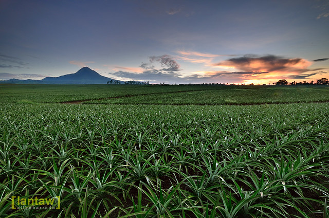 Dawn at Pineapple Fields