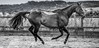 Thoroughbred in flight_equinePhotography-2