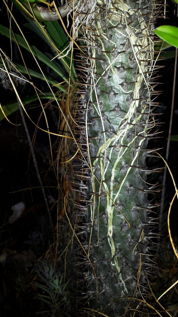 Dendrobium Gloucester Sands (discolor x canaliculatum) roots on Pachypodium lamerei
