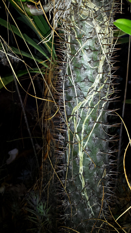Dendrobium Discolor x Canaliculatum roots on Pachypodium lamerei