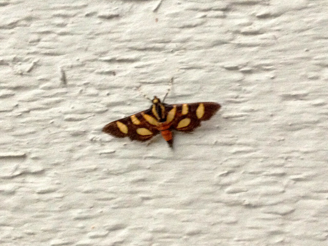Orange-spotted Flower Moth [Syngamia florella]