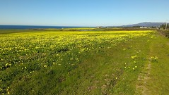 prairie, agriculture, steppe, horizon, flower, field, grass, brassica rapa, plain, plant, hill, wildflower, natural environment, crop, meadow, landscape, pasture, rapeseed, rural area, grassland,