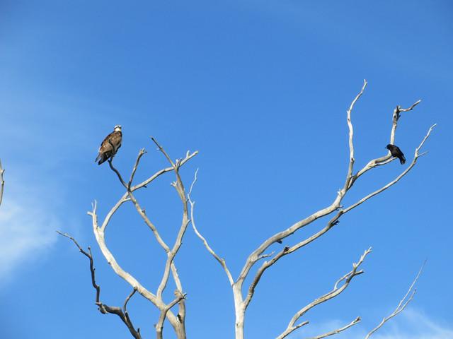 crow watches osprey
