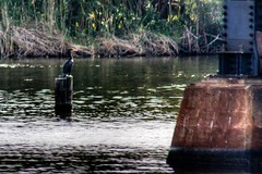 Cormorant at Crane Creek