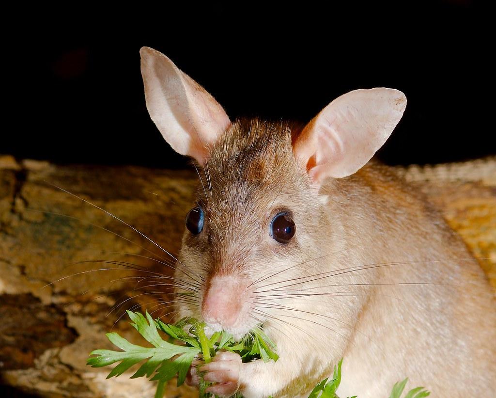 Madagascar giant jumping rat (Hypogeomys antimena)_2