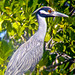 Pedrete Corona Clara -  Yellow Crowned Night Heron - (Nyctanassa violacea)