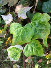 Ivy leaves, Powdery mildew of an ivy