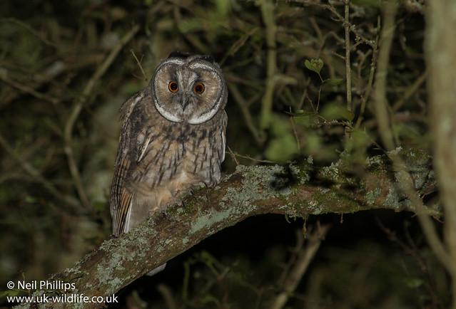 LE owl