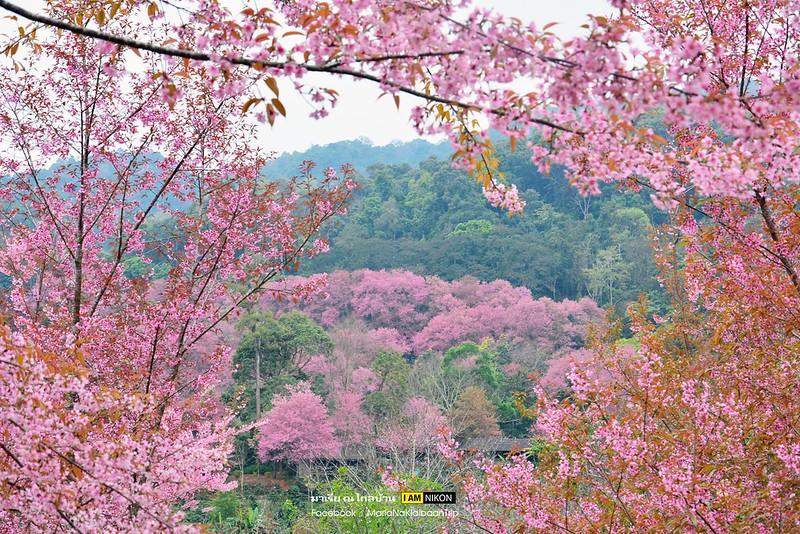 Chiang mai Angkhang sakura trees