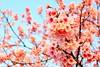 2014 01 29 台北.陽明山.平菁街42巷.寒櫻(100%.藍天-大約)