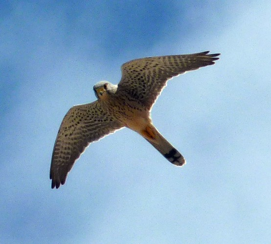 Falco tinnunculus 15030559224_7aa1959506_o