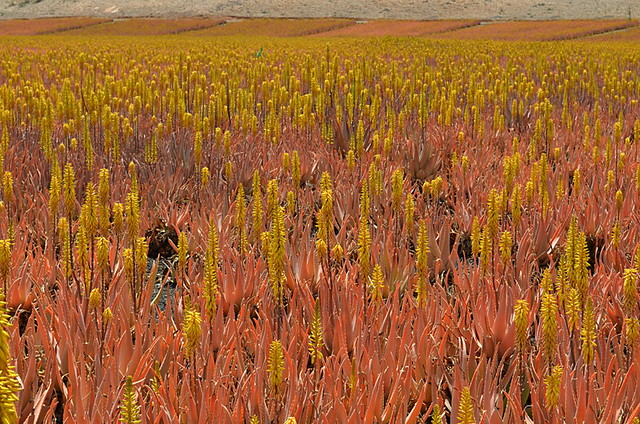Aloe Vera fields of Tiscamanita, Fuerteventura