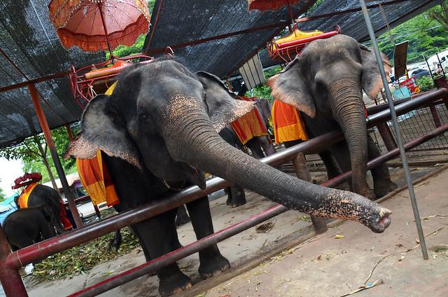 Elefante pidiendo comida con la trompa en Ayutthaya