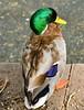 Everyday birds - Lake Merritt