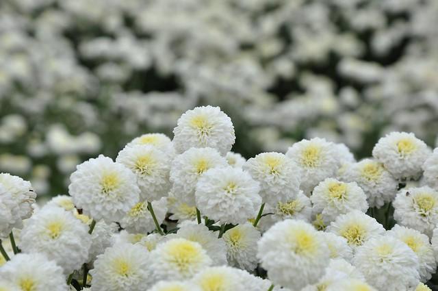 銅鑼杭菊 (7)