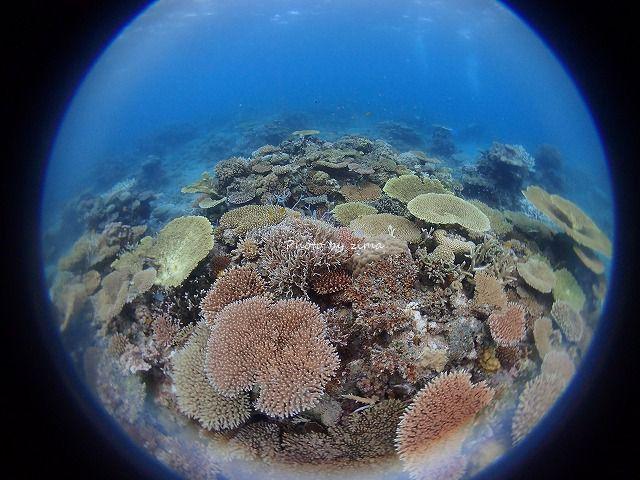 名蔵湾のサンゴはとってもキレイなんです