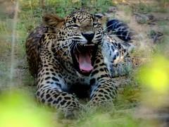 tiger(0.0), animal(1.0), big cats(1.0), leopard(1.0), mammal(1.0), jaguar(1.0), fauna(1.0), whiskers(1.0), safari(1.0), wildlife(1.0),