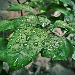 Desculpem-me estar sendo repetitiva, mas gente... é chuva! #100happydays #day91