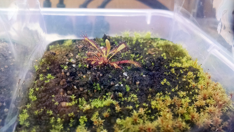Drosera capensis Bainskloof.
