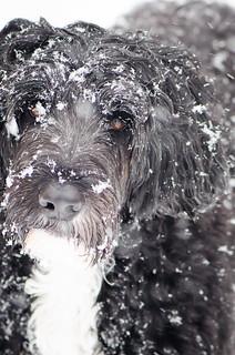 Portia in snow
