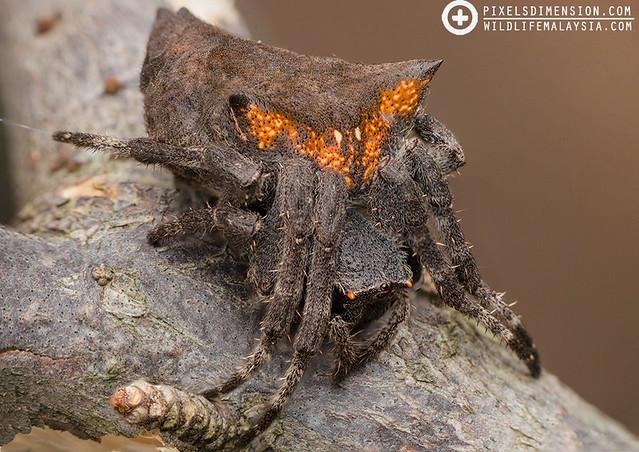 Common Garden Spider- Parawixia dehaani ♀