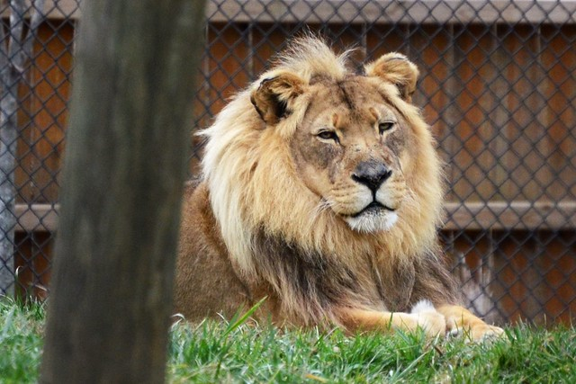 Relaxing Lion