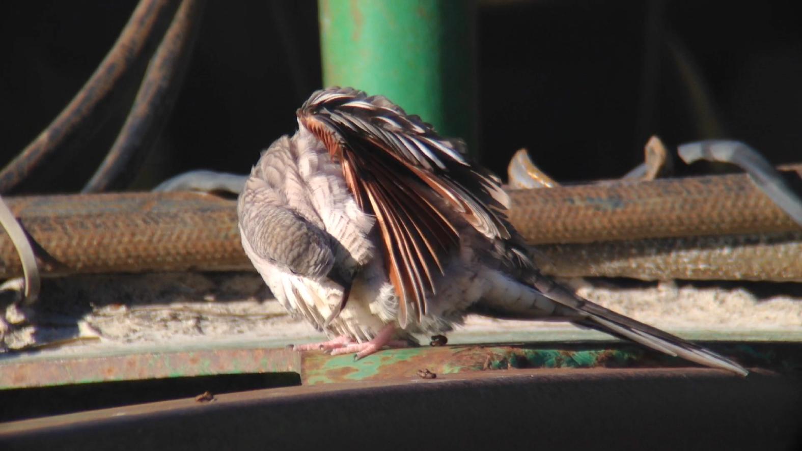 Inca Doves Privett Store Road Miller County GA 011015 5 328