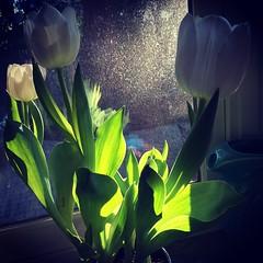 Morning light. #tulips #signsofspring