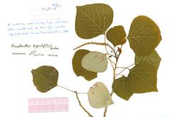 Homalanthus populifolius from Lord Howe Island