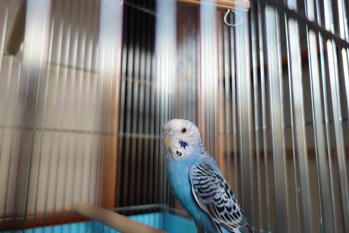 Budgerigar_Ico_(2014_07_27)_1 青いセキセイインコを撮影した写真。鳥籠の止まり木に止まっている。