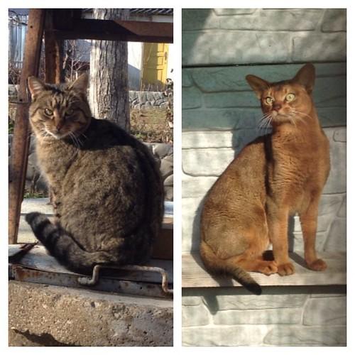 Тигруша и Скай по разные стороны вольера)))) оба греются на солнышке))) #старыйкрым