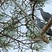 Trocaz pigeon (Columba trocaz)