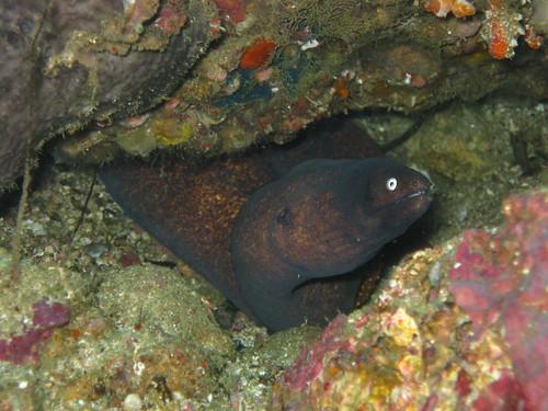 White-Eyed Moray Eel, Sabang, Puerto Galera