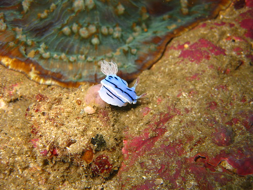 Nudibranch, Monkey Beach, Sabang, Puerto Galera