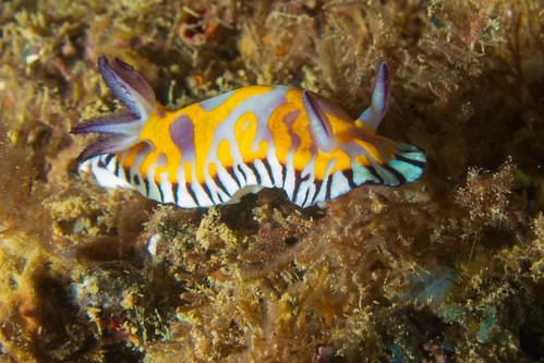 Goniobranchus roboi