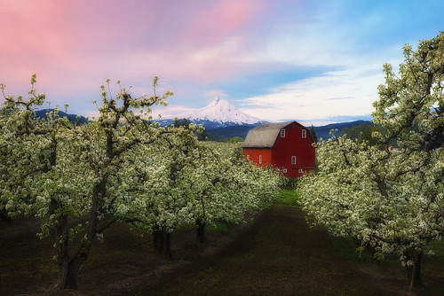 trees red mountain fruit oregon barn sunrise cherry cherries pears blossom farm mount alpine pear hood apples hoodriver fruittrees mounthoodscenicbyway
