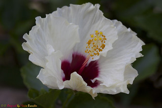 Série com flores - Hibiscos – Series with flowers - Hibiscus - 11-01-2015 - IMG_1555