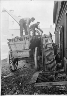 Workers unloading a crop of mangel beets at the Central Experimental Farm in Ottawa / Des ouvriers déchargent des betteraves fourragères à la Ferme expérimentale centrale d'Ottawa
