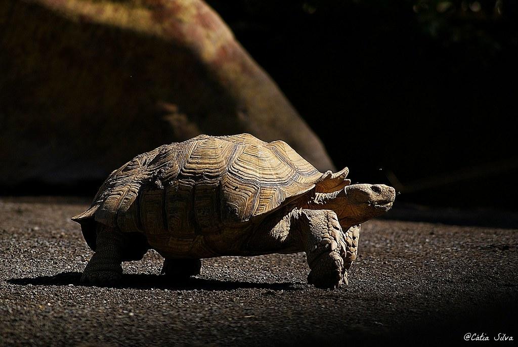 Bioparc Valencia_Humedales (1) Tortuga Espolonera