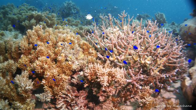 ソラスズメダイの群れとサンゴたち