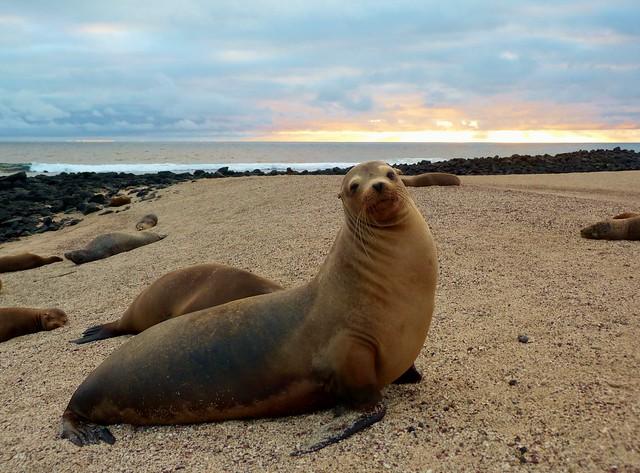 León marino de Galápagos en la lobería de San Cristóbal