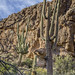 Giant Saguaros Under Magma Ridge