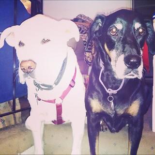 Lola lending moral support to Zeus while he sits after breakfast. #megaesophagus #seniordog #ilovemyseniordog #ilovemydogs #love #dobermanmix #labmix #ilovebigmutts #adoptdontshop
