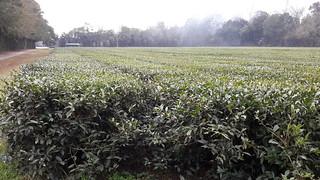 Field of tea plants, Camellia sinensis, at the Tea Plantation