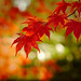 Japanese Maple by bluebrightly