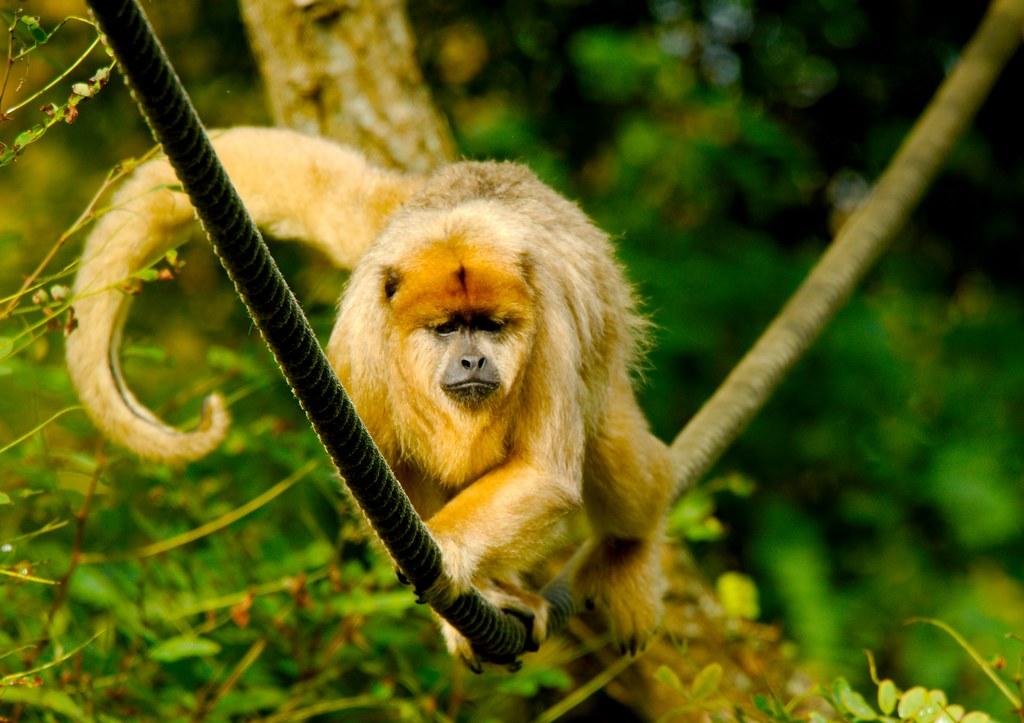 Black and Gold Howler Monkey (Alouatta caraya)_9
