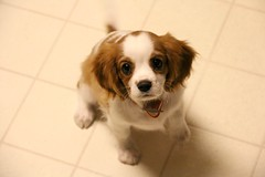 dog breed, animal, dog, pet, king charles spaniel, phalã¨ne, spaniel, cavalier king charles spaniel, carnivoran,
