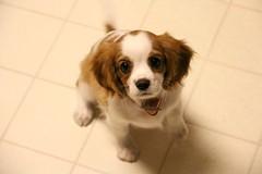 kooikerhondje(0.0), cavachon(0.0), japanese chin(0.0), tibetan spaniel(0.0), papillon(0.0), dog breed(1.0), animal(1.0), dog(1.0), pet(1.0), king charles spaniel(1.0), phalã¨ne(1.0), spaniel(1.0), cavalier king charles spaniel(1.0), carnivoran(1.0),